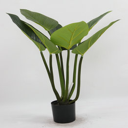 60CM Rubberized Curcuma with plasic pot